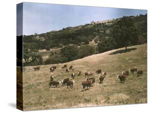Hereford Cattle Near Pleasanton, California by Charles Martin