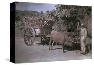 Puerto Rican Man Poses with His Bull-Cart Filled with Sugar Cane by Charles Martin