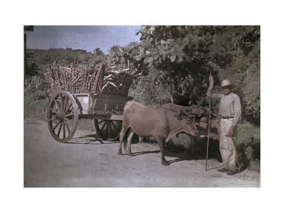 Puerto Rican Man Poses with His Bull-Cart Filled with Sugar Cane