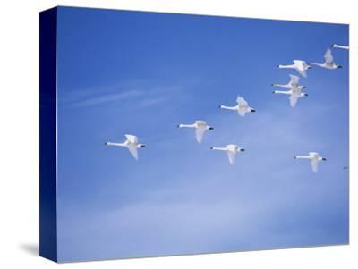 Migrating Tundra Swans, , Cygnus Columbianus