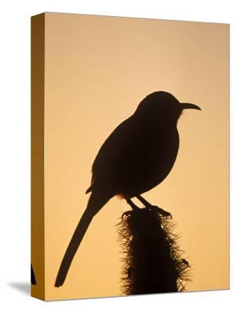 Curve-Billed Thrasher Silhouette on a Cactus, Toxostoma Curvirostre, Southwestern USA
