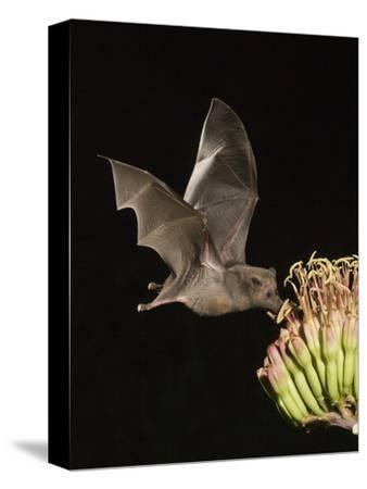 Mexican Long-Tongued Bat (Choeronycteris Mexicana) a Nectar-Feeding Bat at Agave Palmeri Flowers