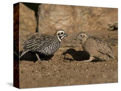 Montezuma or Mearns' Quail Male and Female (Cyrtonyx Montezumae) Scratching for Food