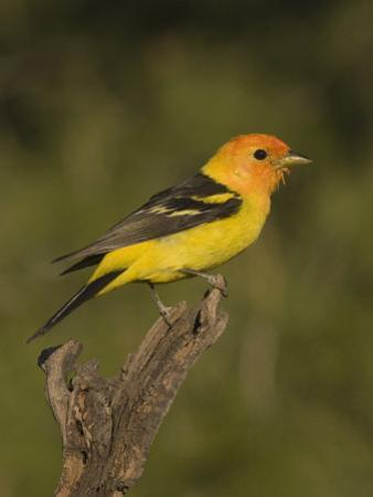 Western Tanager Male (Piranga Ludoviciana) on a Snag, Western North America by Charles Melton