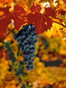 Cabernet Sauvignon Grapes by Charles O'Rear