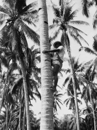 Filipino Man Climbing Tree Trunk of Coconut Palm To Harvest Coconuts, Near Manila