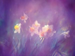 Abstract of Daffodils, New Brunswick, Canada by Charles R. Needle
