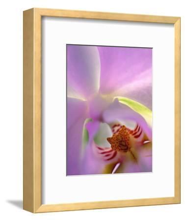 Backlit Phalaeonopsis Orchid, Alpharetta, Georgia, USA