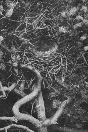 'Nest of Magpie', c1882, (1912)