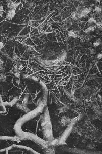 'Nest of Magpie', c1882, (1912) by Charles Reid