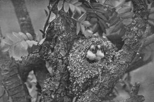 'Young Long-Tailed Tits, Looking Out of Nest', c1882, (1912) by Charles Reid