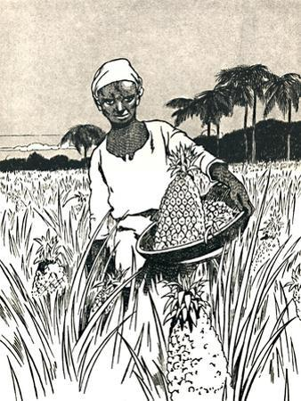 'Gathering Pineapples', 1912 by Charles Robinson