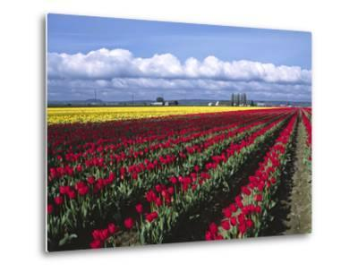 A Field of Tulips with Stormy Skies, Skagit Valley, Washington, Usa