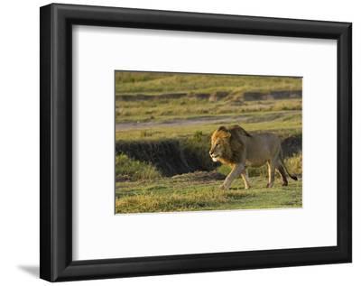 Africa, Tanzania, Ngorongoro Conservation Area. A male lion.