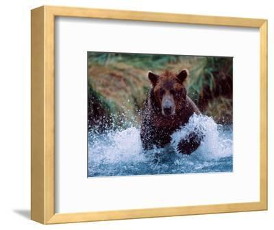 Alaskan Brown Bear in Katmai National Park, Alaska, USA