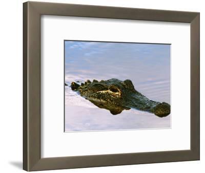 Alligator Lying in Wait for Prey, Ding Darling NWR, Sanibel Island, Florida, USA