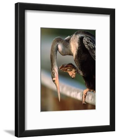 Anhinga Scratching, Everglades National Park, Florida, USA