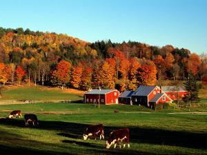 Autumn Colors and Farm Cows, Vermont, USA by Charles Sleicher