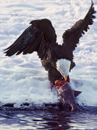 Bald Eagle Pulling a Salmon From the Chilkat River in Alaska, USA