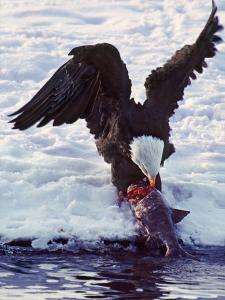 Bald Eagle Pulling a Salmon From the Chilkat River in Alaska, USA by Charles Sleicher