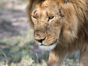 Battle-Scarred Lion Portrait, Tanzania by Charles Sleicher