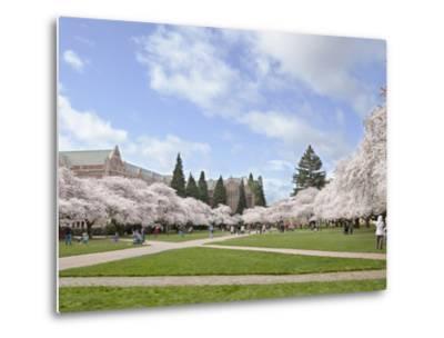 Cherry Trees on University of Washington Campus, Seattle, Washington, USA
