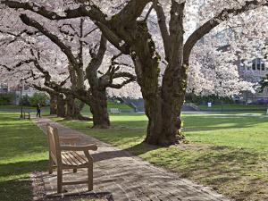 Cherry Trees on University of Washington Campus, Seattle, Washington, USA by Charles Sleicher