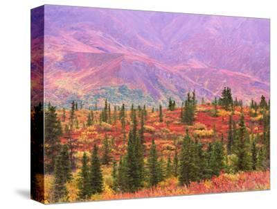 Fall Color in Denali National Park, Mt. Denali, Alaska, USA