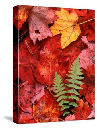 Fallen Maple Leaves and Ferns