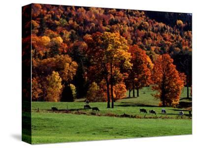 Field with Cows and Fall Color, Vermont, USA