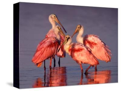 Four Roseate Spoonbills at Dawn, Ding Darling NWR, Sanibel Island, Florida, USA