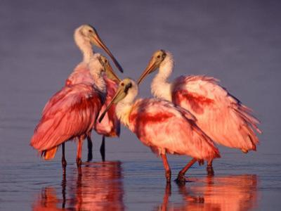 Four Roseate Spoonbills at Dawn, Ding Darling NWR, Sanibel Island, Florida, USA by Charles Sleicher