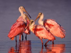 Four Roseate Spoonbills at Dawn by Charles Sleicher
