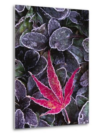 Frost on Ornamental Maple Leaf, Seattle, Washington, USA