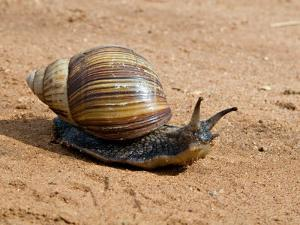 Giant African Land Snail, Tanzania by Charles Sleicher