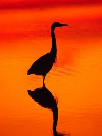 Great Blue Heron Fishing at Sunset, Sanibel Island, Ding Darling National Wildlife Refuge, Florida