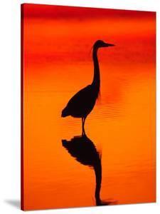 Great Blue Heron Fishing at Sunset, Sanibel Island, Ding Darling National Wildlife Refuge, Florida by Charles Sleicher