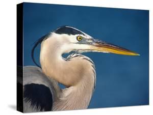 Great Blue Heron, Sanibel Island, Florida, USA by Charles Sleicher
