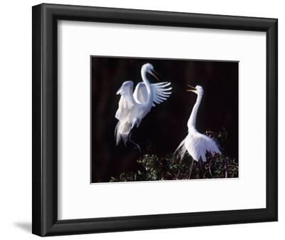 Great Egret in Courtship Display