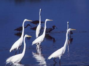 Great Egrets Fishing with Tricolored Herons in the Background by Charles Sleicher