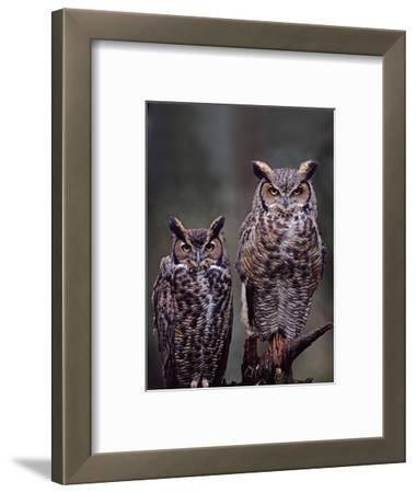 Great Horned Owls, Washington, USA