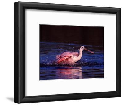 Juvenile Roseate Spoonbill Bathing, Ding Darling NWR, Sanibel Island, Florida, USA