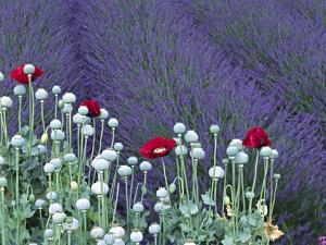 Lavender Field and Poppies, Sequim, Olympic National Park, Washington, USA by Charles Sleicher