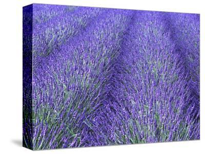 Lavender Field, Sequim, Olympic National Park, Washington, USA