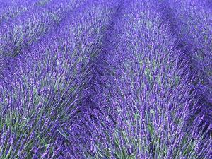 Lavender Field, Sequim, Olympic National Park, Washington, USA by Charles Sleicher