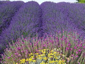 Lavender Field, Sequim, Washington, USA by Charles Sleicher