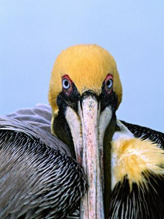 Male Brown Pelican in Breeding Plumage, Sanibel Island, Florida, USA by Charles Sleicher