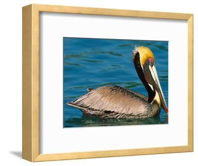 Male Brown Pelican in Breeding Plumage, West Coast of Mexico