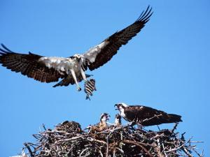 Male Osprey Landing at Nest with Fish, Sanibel Island, Florida, USA by Charles Sleicher