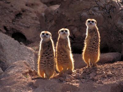 Meerkats in the Phoenix Zoo, Arizona, USA